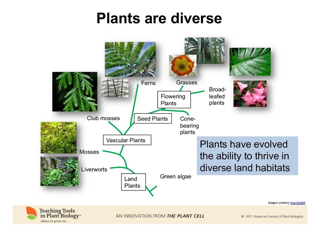 Plants are diverse Green algae Liverworts Mosse...