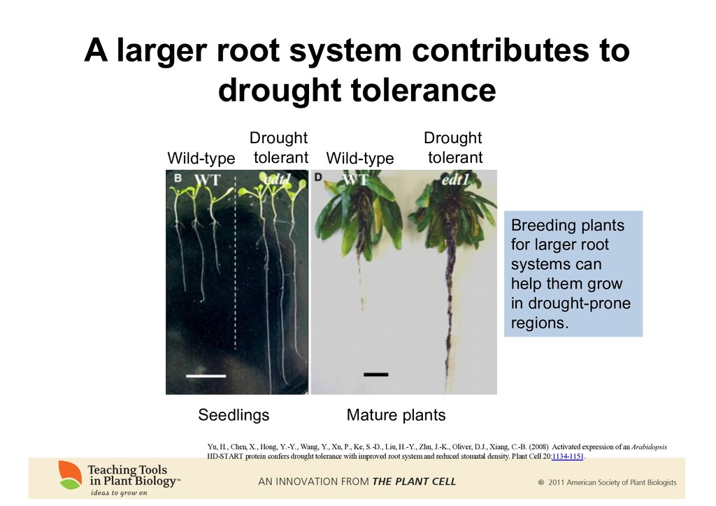 A larger root system contributes to drought tol...