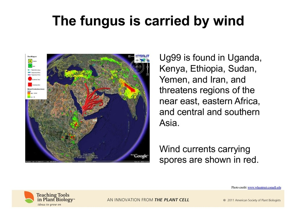 The fungus is carried by wind Ug99 is found in ...