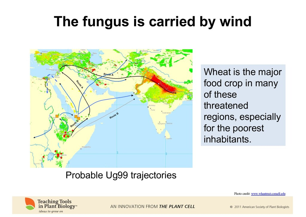 The fungus is carried by wind Wheat is the majo...