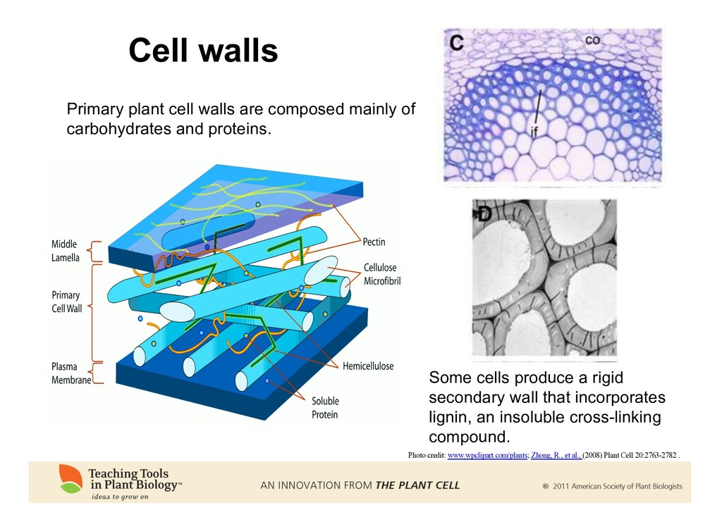 Cell walls Photo credit: www.wpclipart.com/plan...
