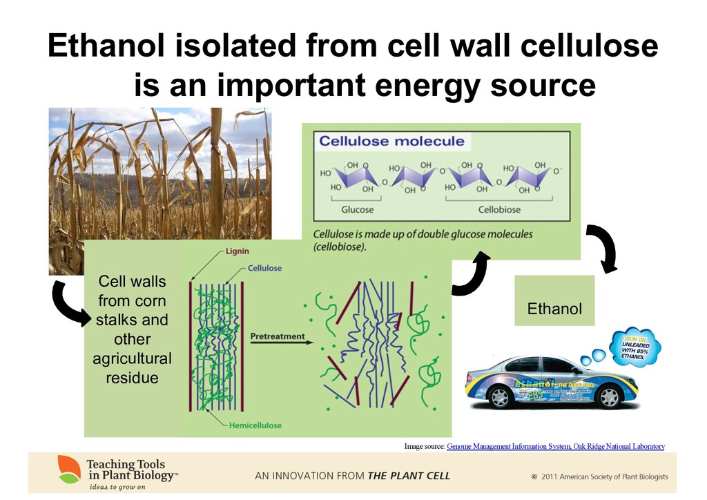 Ethanol isolated from cell wall cellulose is an...