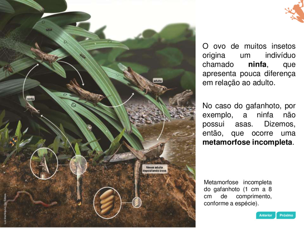Capítulo 11 • Artrópodes e equinodermos Metamor...