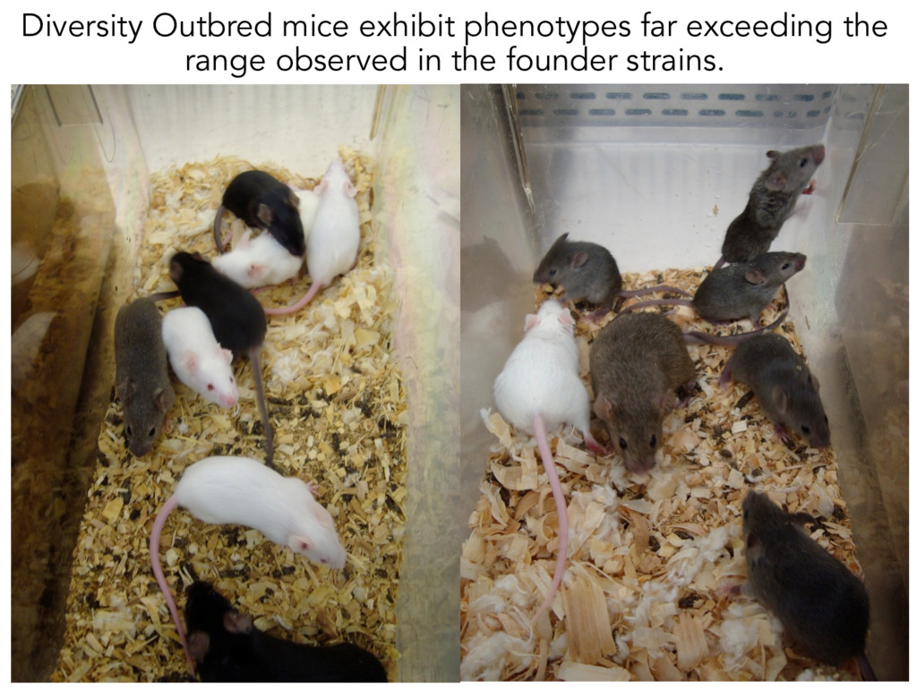 Diversity Outbred mice exhibit phenotypes far e...