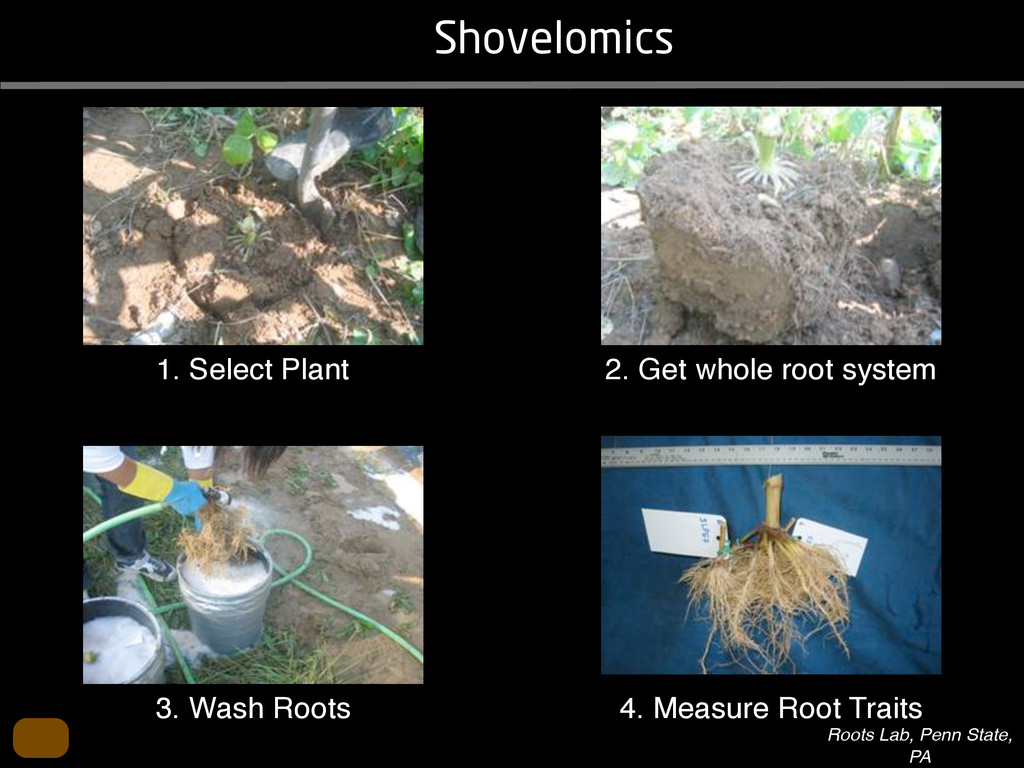 Shovelomics 1. Select Plant 2. Get whole root s...