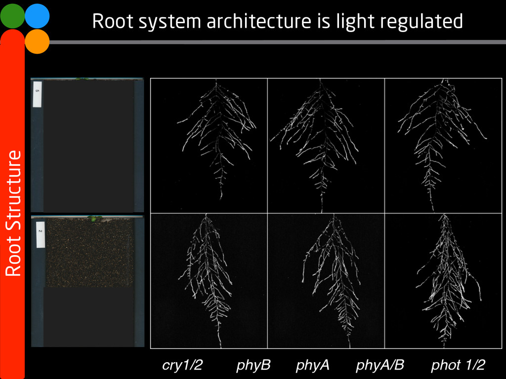 Root system architecture is light regulated Roo...