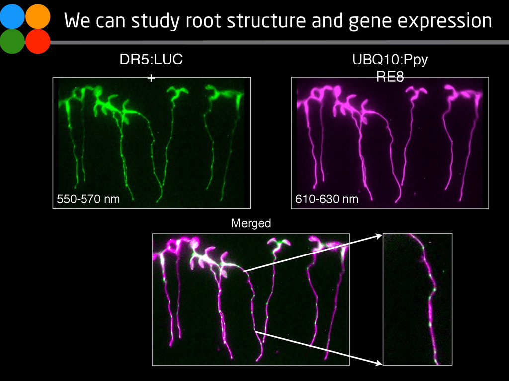 We can study root structure and gene expression...