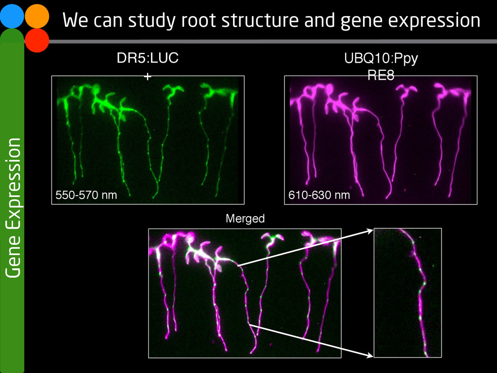 Gene Expression We can study root structure and...