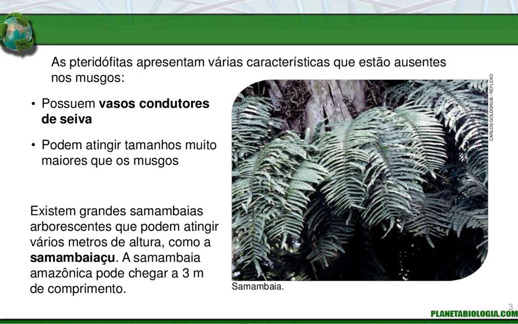 As pteridófitas apresentam várias característic...
