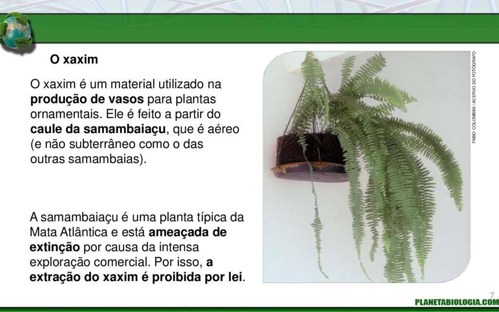 O xaxim A samambaiaçu é uma planta típica da Ma...