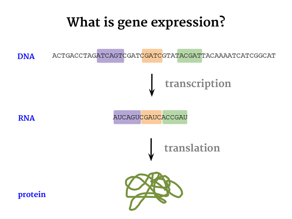 AUCAGUCGAUCACCGAU What is gene expression? tran...