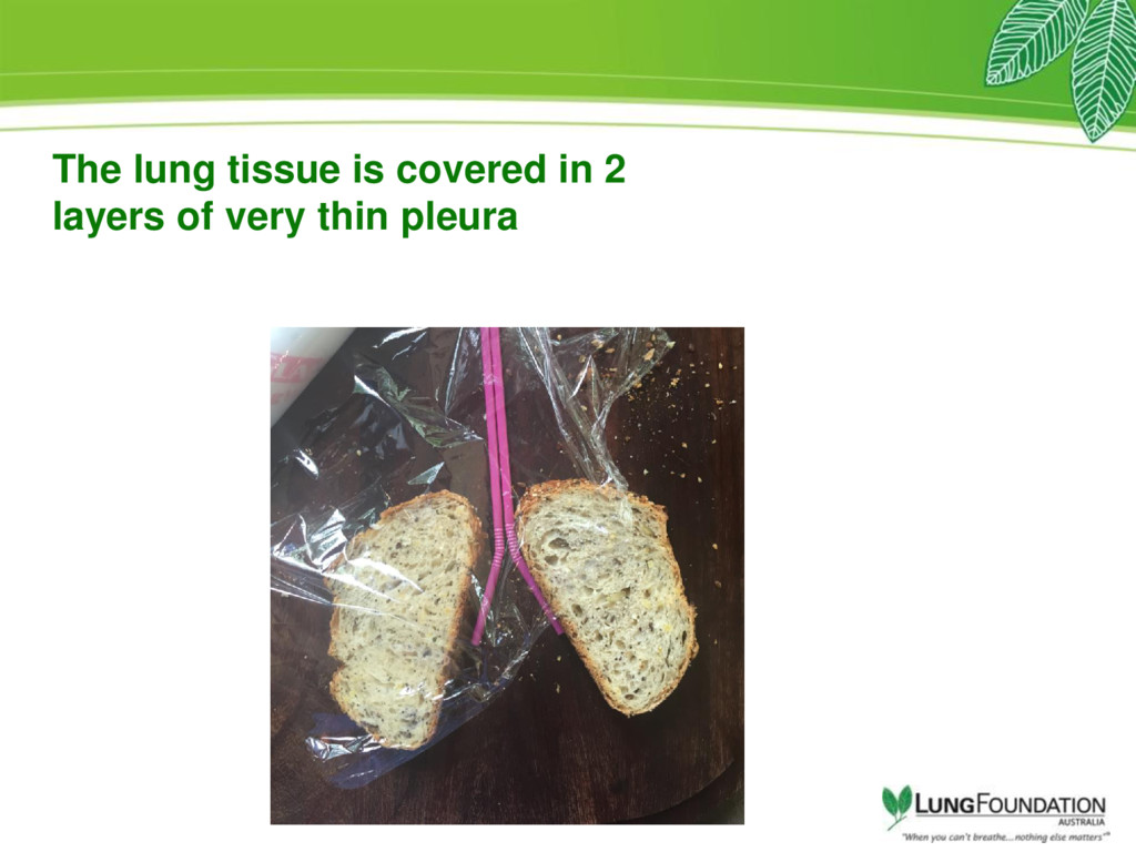 The lung tissue is covered in 2 layers of very ...
