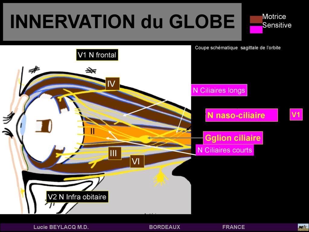 N naso-ciliaire INNERVATION du GLOBE III II IV ...