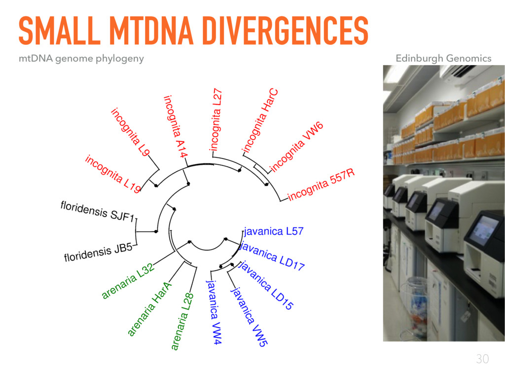 30 SMALL MTDNA DIVERGENCES mtDNA genome phyloge...