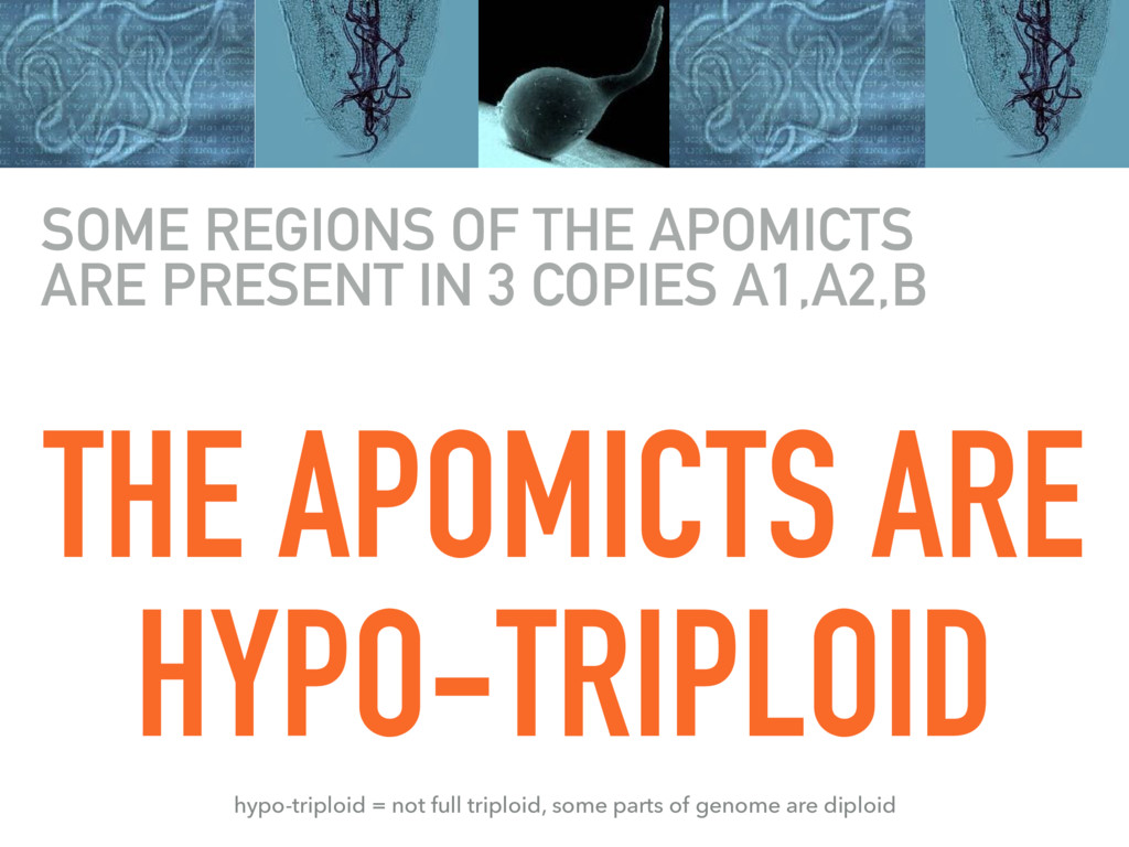 THE APOMICTS ARE HYPO-TRIPLOID SOME REGIONS OF ...