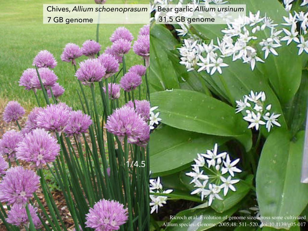 Bear garlic Allium ursinum 31.5 GB genome Chive...