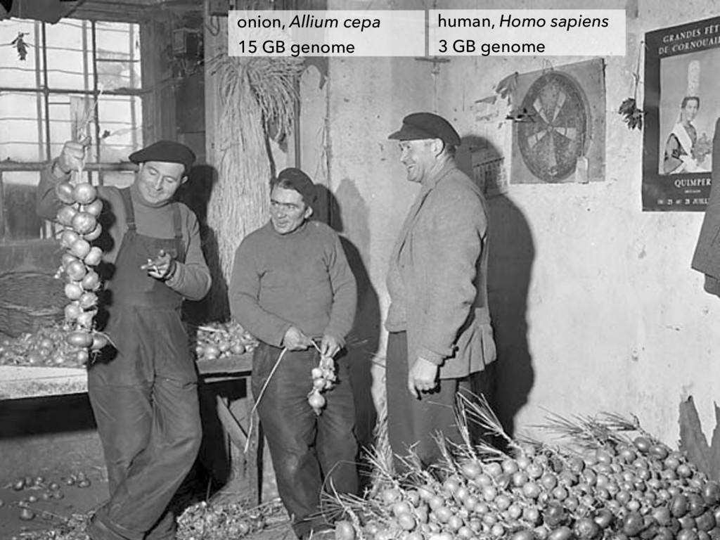 onion, Allium cepa 15 GB genome human, Homo sap...