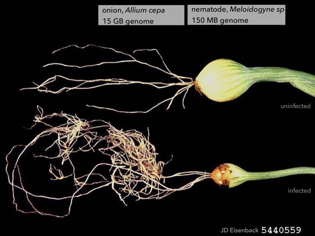 JD Eisenback onion, Allium cepa 15 GB genome ne...
