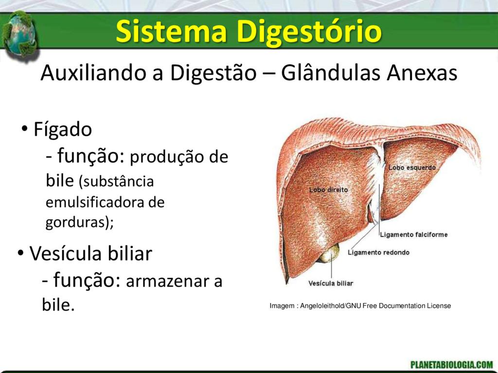 Auxiliando a Digestão – Glândulas Anexas • Fíga...