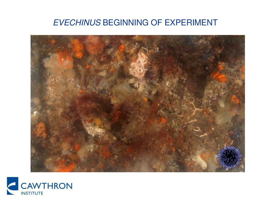 EVECHINUS BEGINNING OF EXPERIMENT