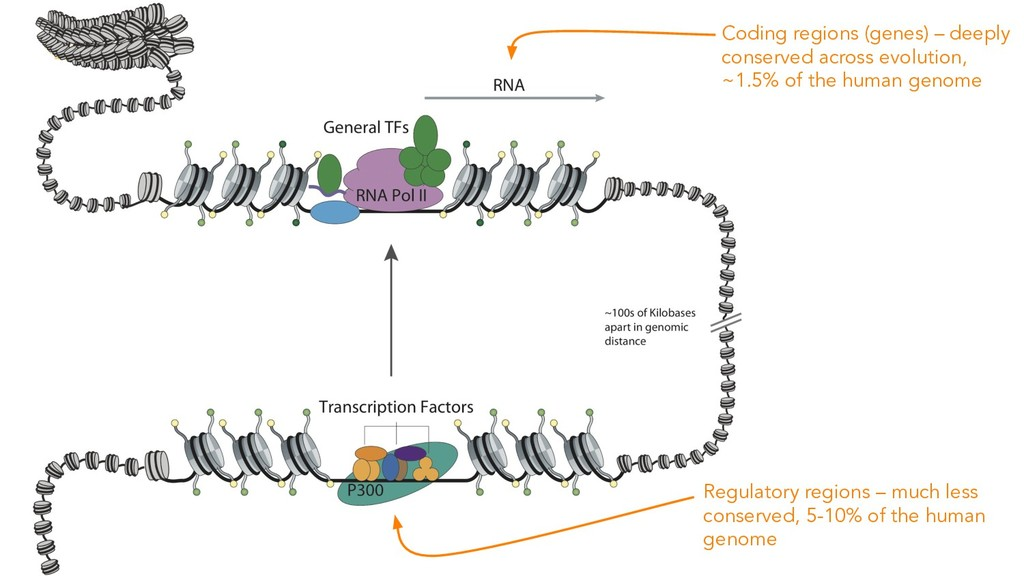 Coding regions (genes) – deeply conserved acros...