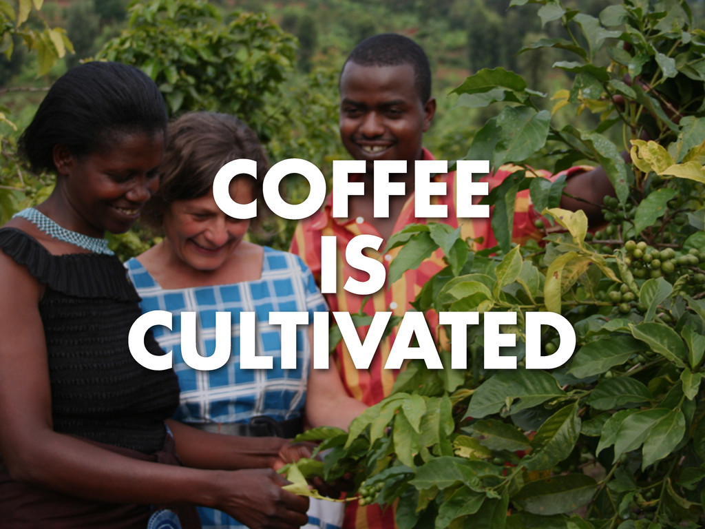 COFFEE IS CULTIVATED