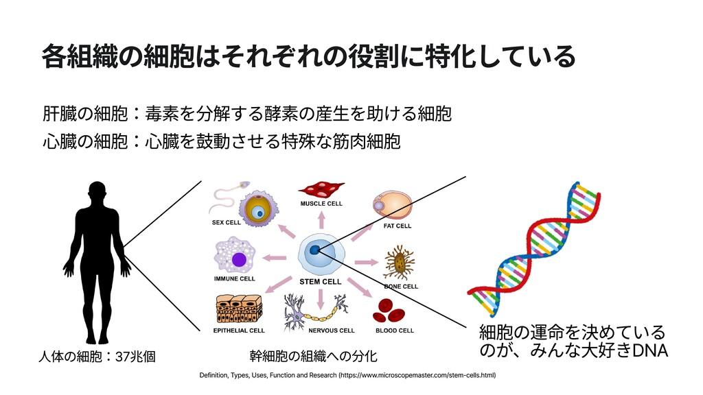 各組織の細胞はそれぞれの役割に特化している 肝臓の細胞:毒素を分解する酵素の産生を助ける細胞 ...