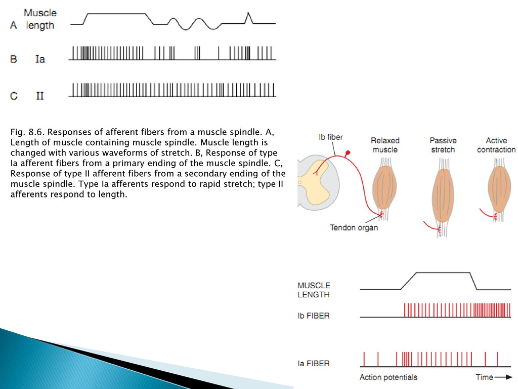 Fig. 8.6. Responses of afferent fibers from a m...