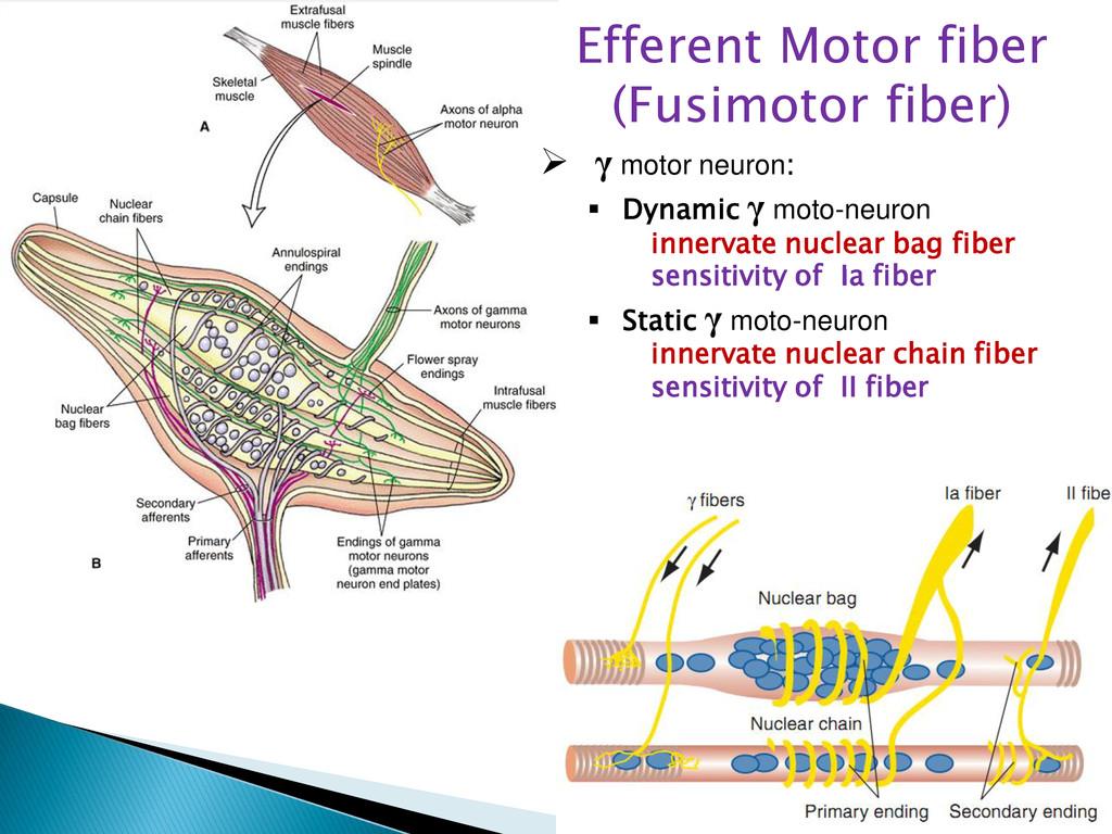 Efferent Motor fiber (Fusimotor fiber)  γ moto...