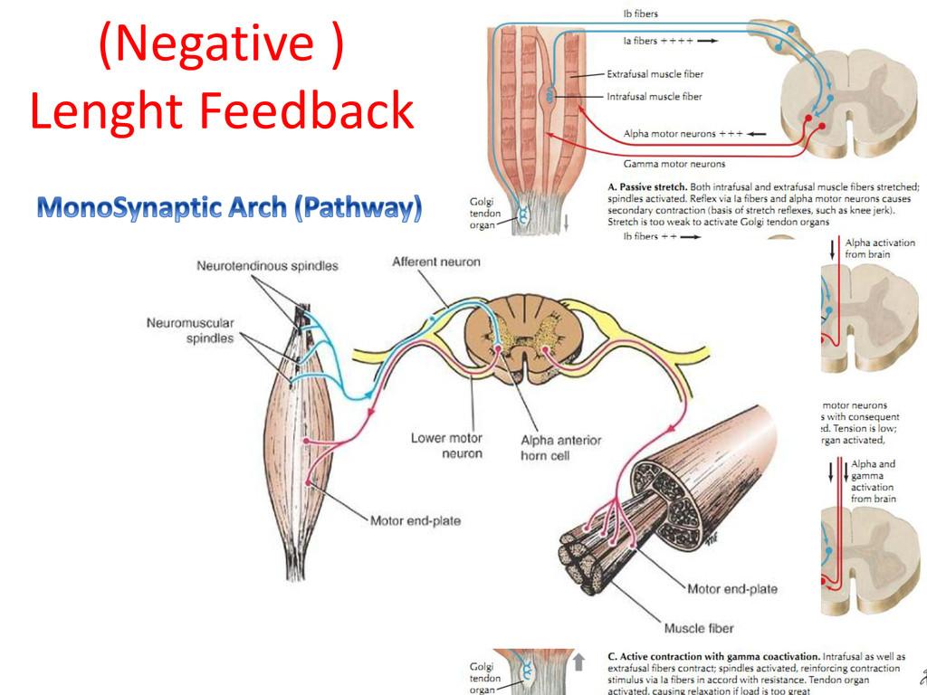 (Negative ) Lenght Feedback