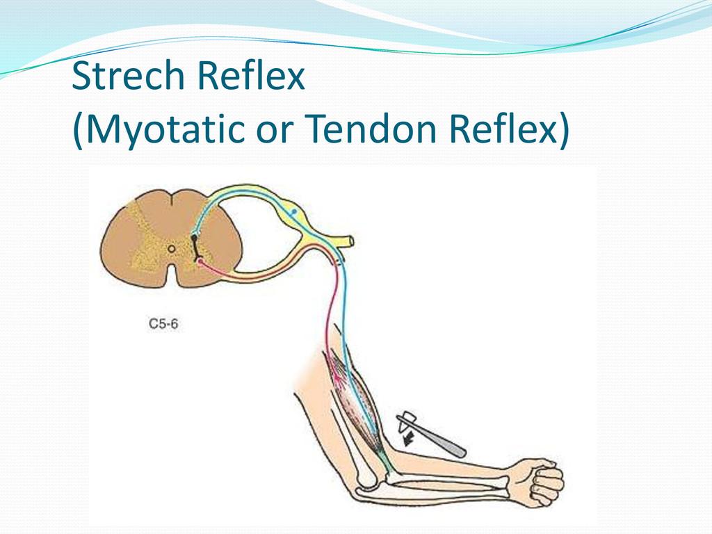 Strech Reflex (Myotatic or Tendon Reflex)