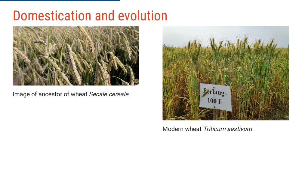 Image of ancestor of wheat Secale cereale Moder...