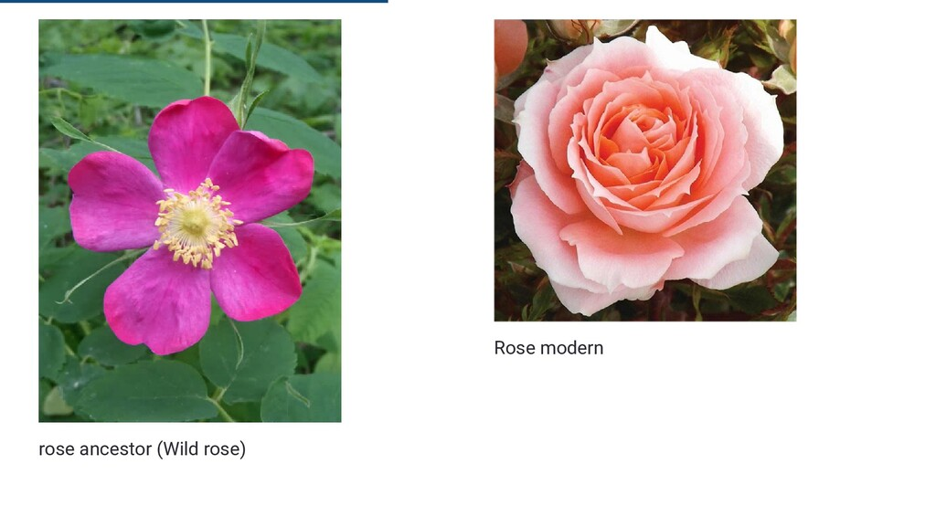 rose ancestor (Wild rose) Rose modern