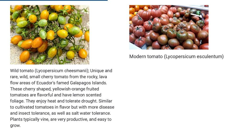 Wild tomato (Lycopersicum cheesmanii); Unique a...
