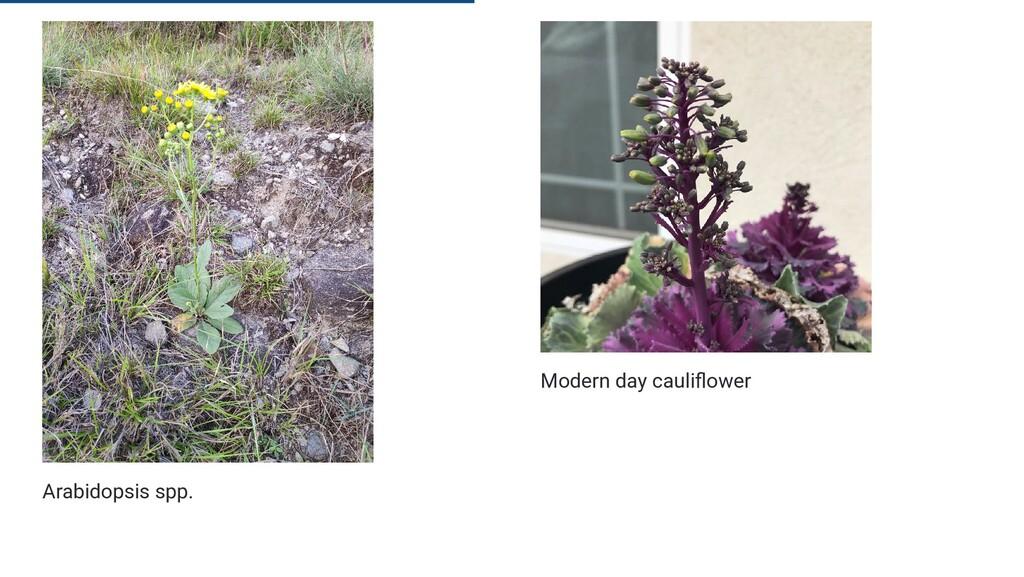 Arabidopsis spp. Modern day cauli ower