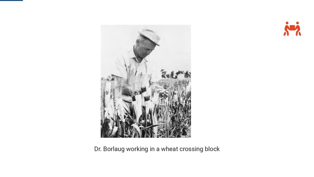  Dr. Borlaug working in a wheat crossing block