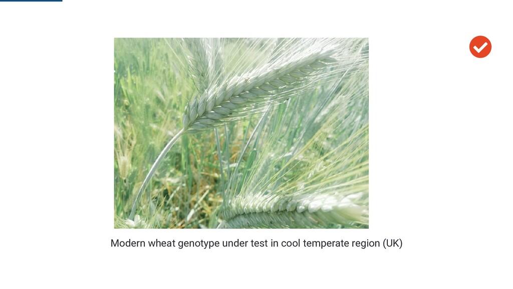  Modern wheat genotype under test in cool temp...
