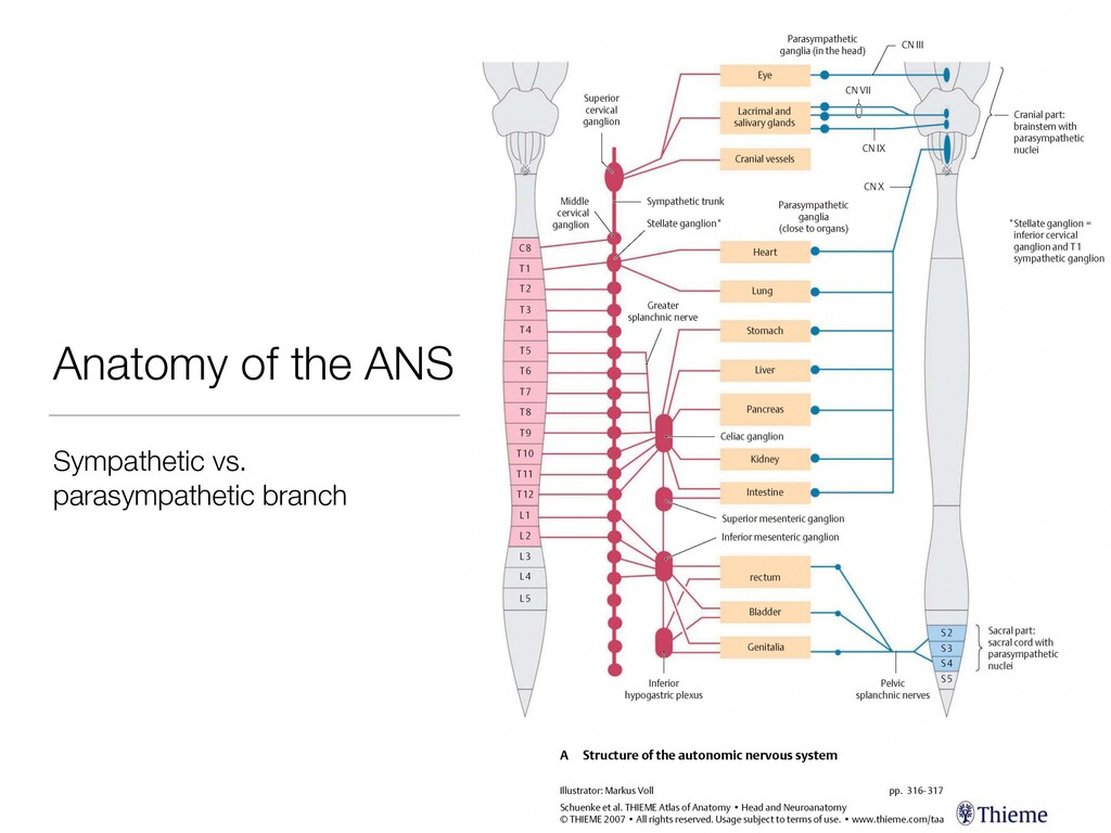 Anatomy of the ANS Sympathetic vs. parasympathe...
