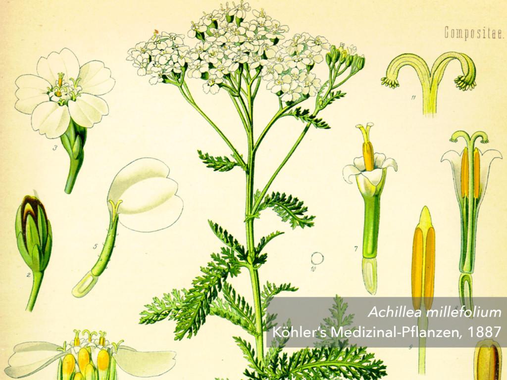 Achillea millefolium Köhler's Medizinal-Pflanzen...