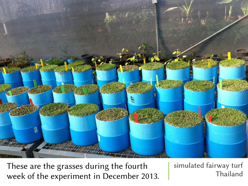 These are the grasses during the fourth week of...