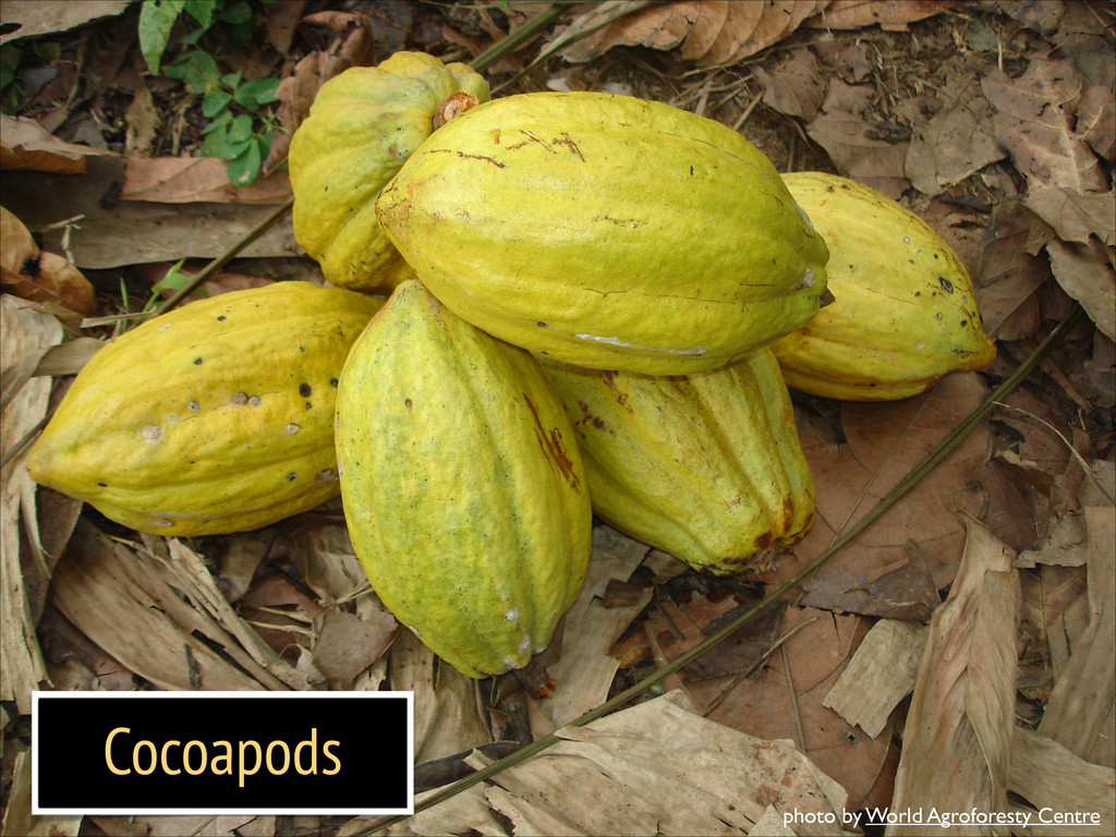 Cocoapods photo by World Agroforesty Centre