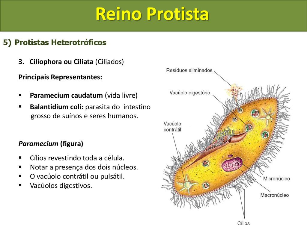 Reino Protista 5) Protistas Heterotróficos 3. C...