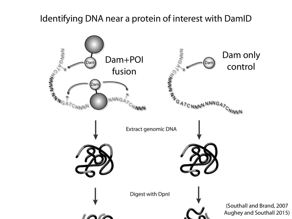 Identifying DNA near a protein of interest with...