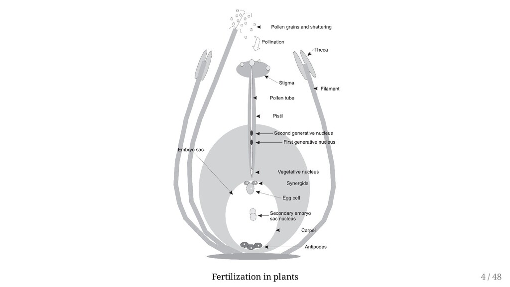 Fertilization in plants 4 / 48