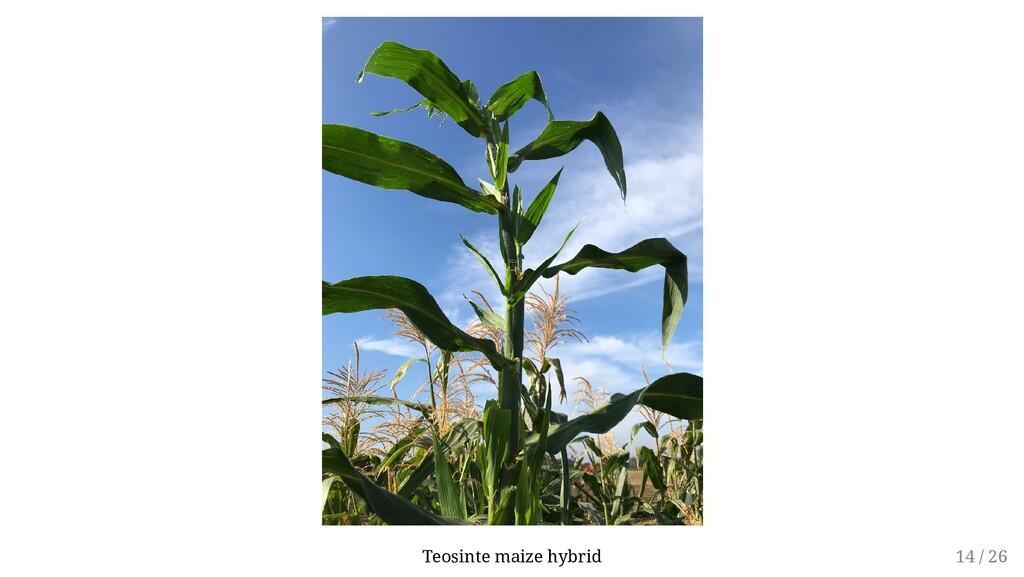 Teosinte maize hybrid 14 / 26