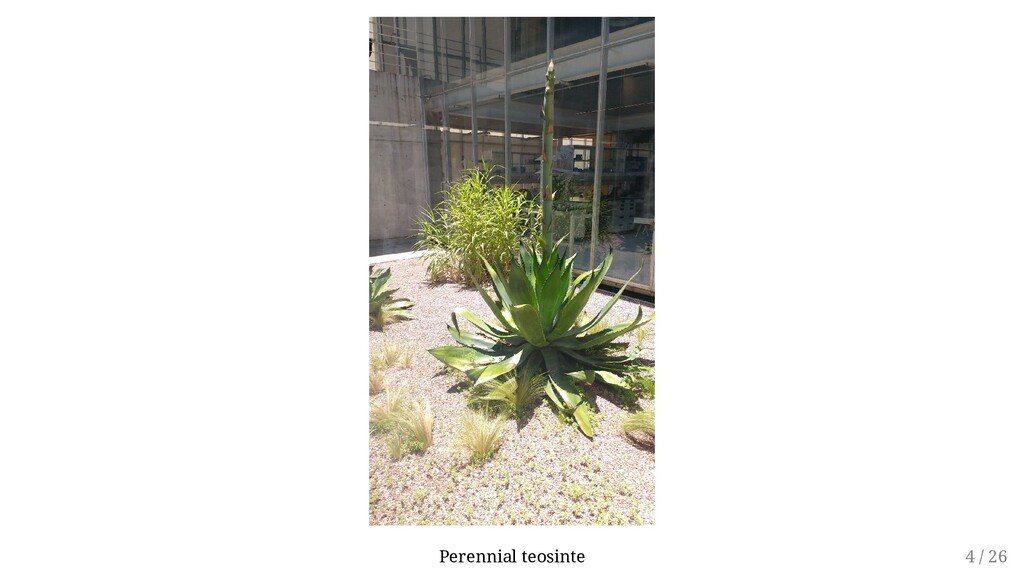 Perennial teosinte 4 / 26