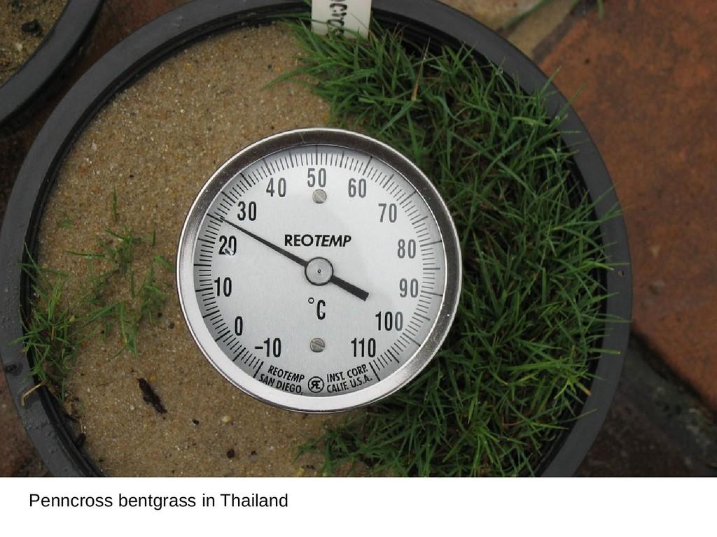Penncross bentgrass in Thailand