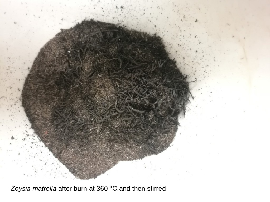 Zoysia matrella after burn at 360 °C and then s...