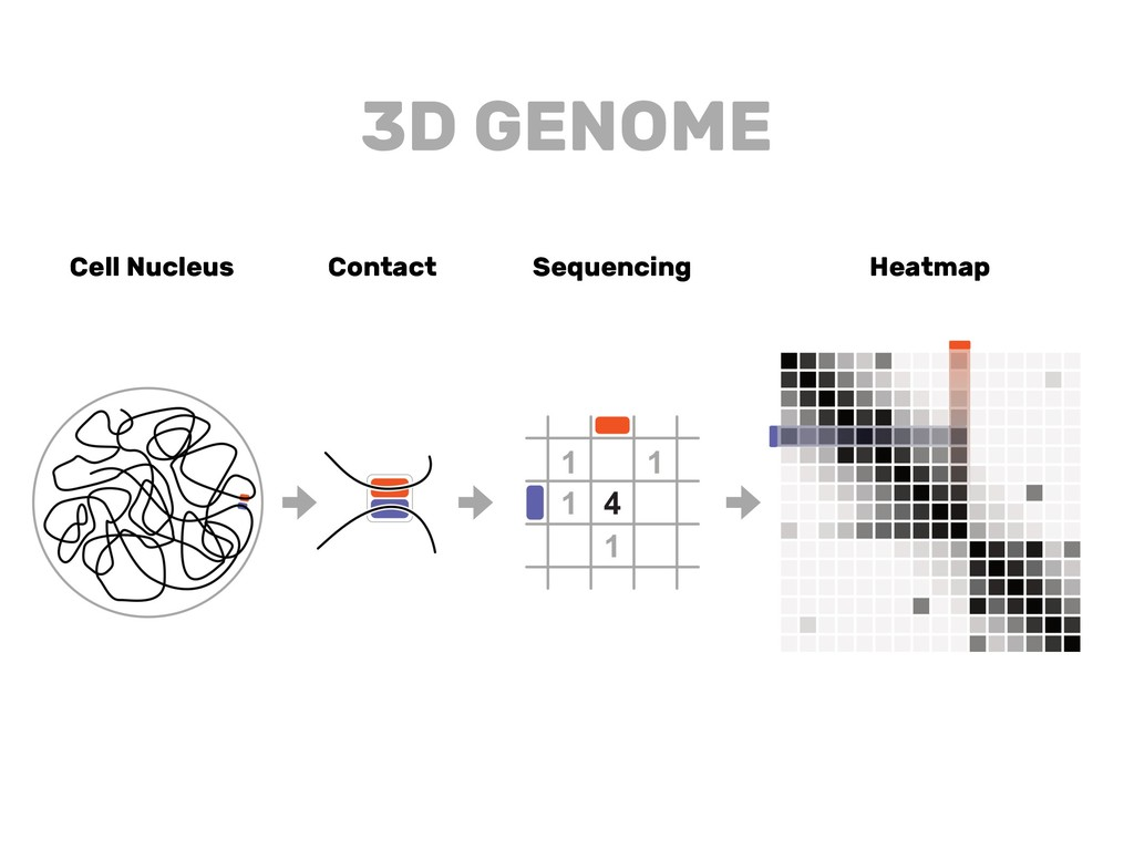 Cell Nucleus Contact Sequencing Heatmap 3D GENO...