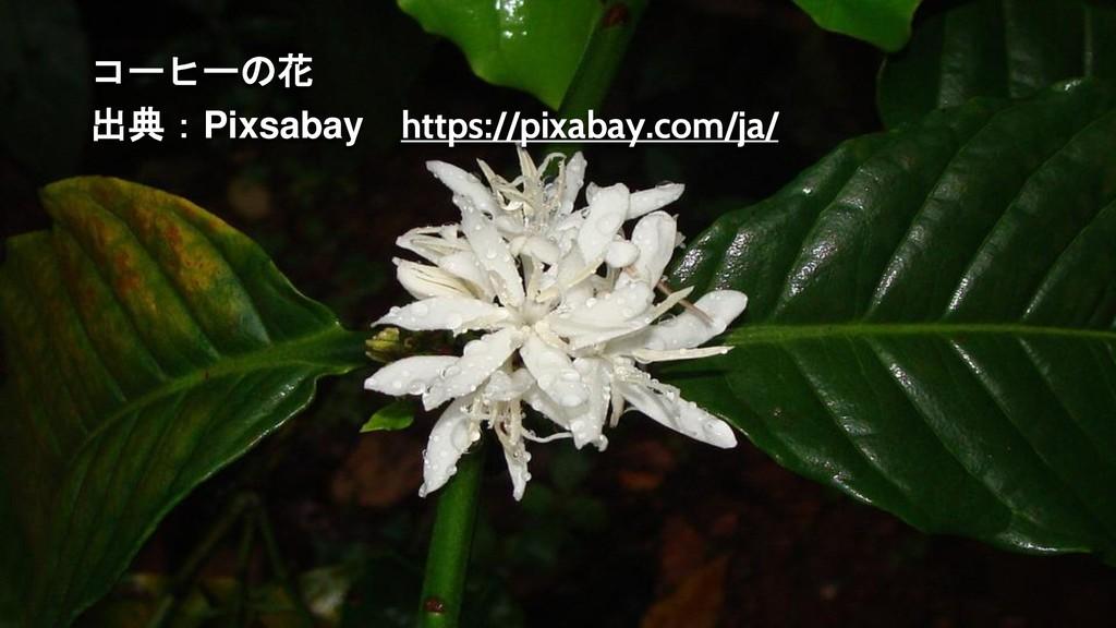 コーヒーの花 出典:Pixsabay https://pixabay.com/ja/
